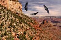California Condors Grand Canyon